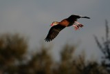 Black-bellied whistling duck dropping down