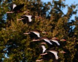 Bunch of whistling ducks flying off together