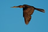 Anhinga flying past