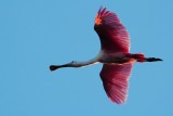 Roseate spoonbill above and backlit