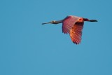 Roseate spoonbill flying past