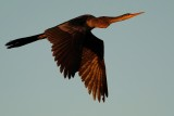 Anhinga flying upwards