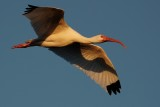 Sunset ibis flight