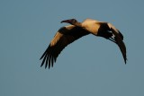 Sunset wood stork flying over