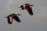 Two whistling ducks flying past