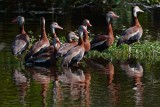 Black-bellied whistling ducks hanging out