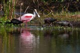 Roseate spoonbill with glossy ibis friends