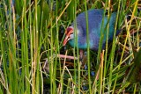 Grey-headed swamphen in the reeds