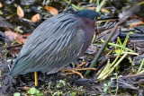 Green heron in the shade