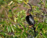 Female anhinga on a branch