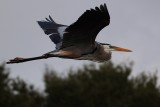 Great blue heron in flight in low light