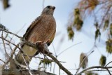 Red-shouldered hawk with a mouse