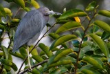 Little blue heron in a tree