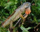 Green iguana in a tree