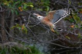 Red-shouldered hawk flying low