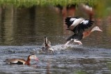 Black-bellied whistling ducks getting antsy