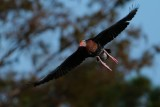 Black-bellied whistling duck flying this way