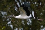 Wood stork flying past with sticks for a nest
