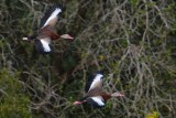 Black-bellied whistling ducks flying low