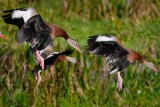 Black-bellied whistling ducks landing