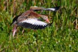 Black-bellied whistling duck landing