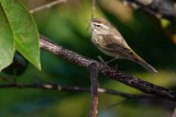 Palm warbler in a pond apple tree