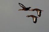 Black-bellied whistling ducks in formation