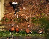 Black-bellied whistling duck dancing