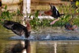 Black-bellied whistling duck play fighting