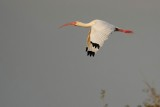 Ibis cruising past