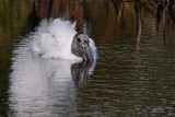 Wood stork having a soak