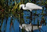 Snowy egret hunting with his reflection