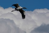 Wood stork and cloud pillows