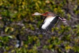 Black-bellied whistling duck flying by