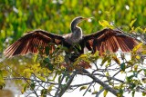 Female anhinga drying off, backlit