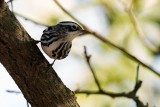 Black and white warbler deciding where to go