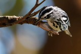 Black and white warbler looking for bugs