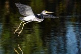 Tricolor heron just off the water