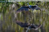 Great blue heron flying low over the water
