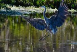 Great blue heron about to touch down