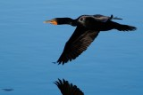 Cormorant low over the water