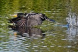Cormorant skimming the water
