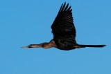 Female anhinga flying past