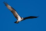 Osprey flying this way