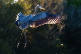 Backlit great blue heron flying