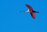 Roseate spoonbill high in the sky