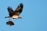 Osprey flying with a fish catch