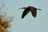 Glossy ibis flying by