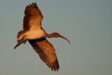 Juvenile ibis dropping down