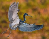 Tricolor heron spread out to land